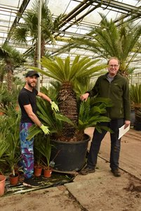 Cycas revoluta 230 ltr -  total height 190-210 cm [pallet]