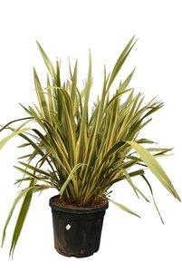 Phormium tenax variegata - total height 130-150 cm - pot 45 ltr [pallet]