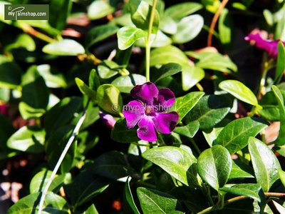 Vinca minor Atropurpurea - pot Ø 11cm