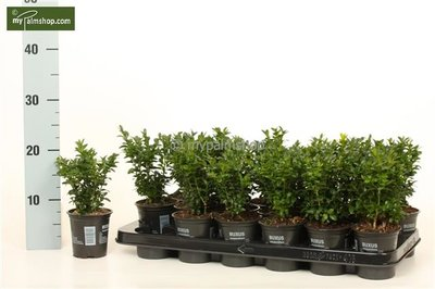 Buxus sempervirens Hedge - total height 15-25 cm - pot 0,5 Ltr.
