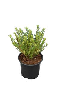 Ilex crenata Glorie Dwarf - total height 20-30 cm - pot 0,5 ltr