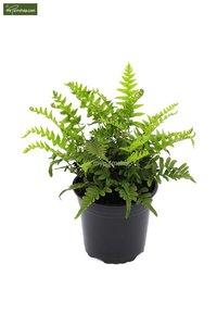 Polypodium vulgare 0.7 ltr