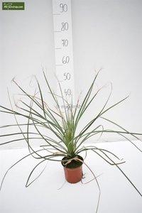 Dasylirion lucidum - pot Ø 14 cm