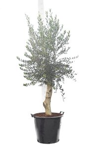 Olea europaea wilde vorm stamhoogte 80+ cm stamomtrek 30-40 cm