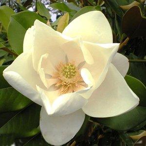 Magnolia grandiflora Nantais - total height 60+ cm - pot Ø 22 cm