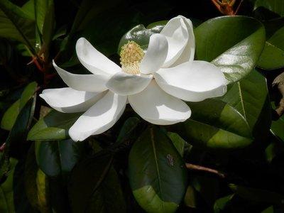 Magnolia grandiflora gloriosa