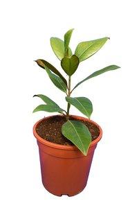 Magnolia grandiflora Orvo - total height 40+ cm - pot Ø 22 cm
