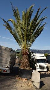 Phoenix canariensis - trunk 140-160 cm - total height 300+ cm - pot 600 ltr [pallet]