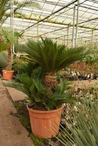Cycas revoluta - trunk 40-60 cm - total height 140-160 cm - pot Ø 60 cm [pallet]