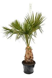 Livistona decipiens - trunk 60+ cm - total height 200+ cm - pot Ø 50 cm [pallet]