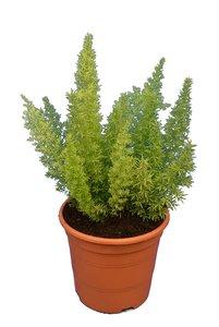 Asparagus meyeri - pot 17 cm