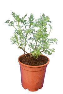 Artemisia abrotanum Cola - pot Ø 15 cm