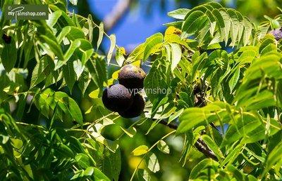 Juglans nigra - total height 50-70 cm - pot 22 cm