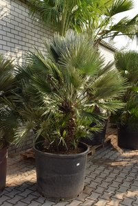 Chamaerops humilis Vulcano - mother - trunk 60-80 cm - total height 200+ cm - pot Ø 75 cm [pallet]
