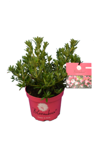 Bloombux magenta - Rhododendron micranthum Microhirs - total height 30-40 cm - pot 2 ltr