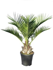 Jubaea chilensis - trunk 25-35 cm - total height 140-160 - pot Ø 40 cm [pallet]