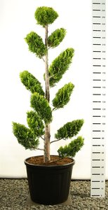 Chamaecyparis lawsoniana Ivonne multiplateau extra 250-275 cm [pallet]