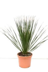 Dasylirion serratifolium - pot Ø 26 cm