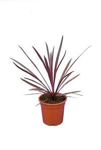 Cordyline australis Paso Doble - pot 21 cm