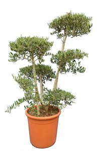 Olea europaea - Bonsai - total height 140-160 cm - pot Ø 40 cm [pallet]