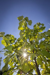 Paulownia tomentosa - stamomtrek 4-6 cm - totale hoogte 180+ cm - pot Ø 35 cm