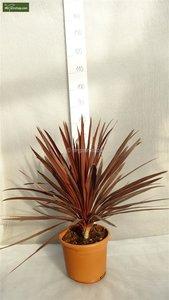 Cordyline australis Red Star - total height 80-100 cm - pot 24 cm