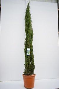 Cupressus sempervirens - total height 240+ cm - pot Ø 35 cm / 25 ltr - [pallet]