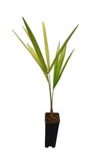 Trachycarpus fortunei x nanus 0.7 ltr