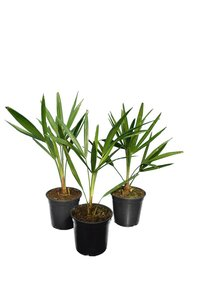 Trachycarpus fortunei - set of 3 - total height  40-60 cm - pot Ø 15 cm