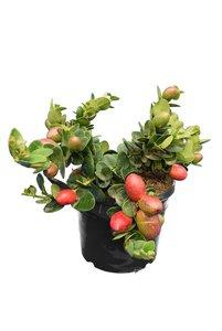 Carissa macrocarpa Grandiflora - pot 18 cm