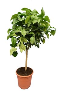 Citrus bergamia Fantastico - total height 90-110 - trunk height 30-40 - pot Ø 24 cm