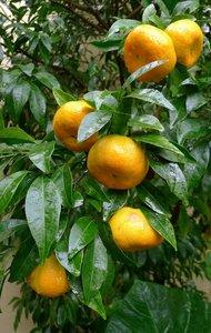 Citrus reticulata - total height 140-160 cm - Ø 26 cm pot