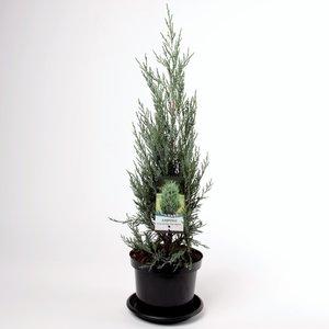 Juniperus scopulorum Moonglow - total height 70-80 cm - pot 3 ltr