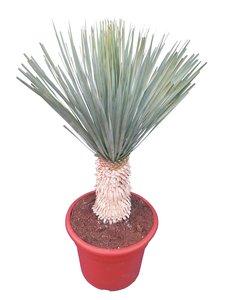 Yucca rostrata - trunk 30-40 cm - pot Ø 38 cm