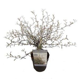 Maori Silver leaf - total height 50-60 cm - pot Ø 15 cm