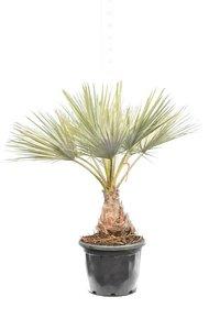 Brahea armata - trunk 20-30 cm - total height 140-160 cm - pot Ø 45 cm [Pallet]