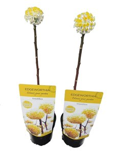 Edgeworthia chrysantha Grandiflora - set of 2 - total height 40-60 cm - pot Ø 13 cm