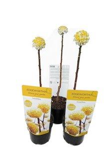 Edgeworthia chrysantha Grandiflora - set of 3 - total height 40-60 cm - pot Ø 13 cm