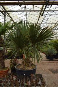 Sabal palmetto - trunk 40-50 cm - total height 220+ cm - pot Ø 100 cm