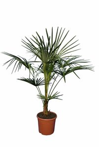 Trachycarpus fortunei - trunk 20+ - total height 130-150 cm - pot Ø 30 cm
