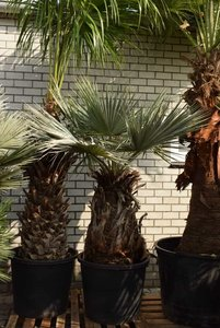Brahea armata - trunk 90-100 cm - total height 200+ cm - pot Ø 75 cm [Pallet]