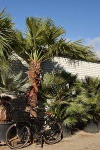 Brahea edulis - trunk 200+ cm - total height 350+ cm - pot Ø 85 cm [pallet]