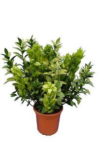Ruscus hypoglossum - total height 70-90 cm - pot Ø 26 cm