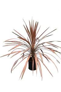 Cordyline australis Kiwi Dazzler pot Ø 22 cm