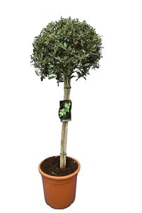 Olea europaea - sphere form - trunk 70-90 cm - total height 120-140 cm - pot Ø 26 cm