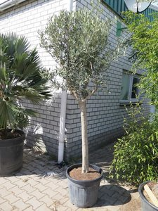 Olea europaea - wild form - trunk 100-120 cm - trunk circumference 20-30 cm - total height 200+ cm [pallet]