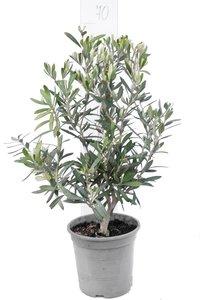 Olea europaea - shrub - total height 60-80 cm - pot Ø 20 cm
