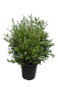Olea europaea - shrub - totale hoogte 90-110 cm - pot Ø 35 cm
