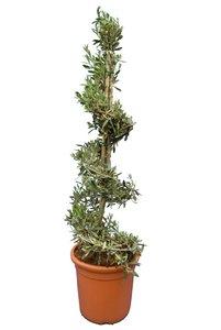 Olea europaea Spiral - total height 130-150 cm - pot Ø 35 cm