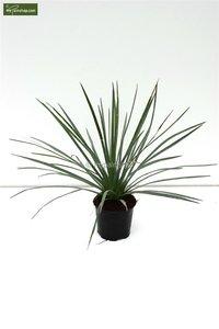 Yucca whipplei - pot Ø 14 cm